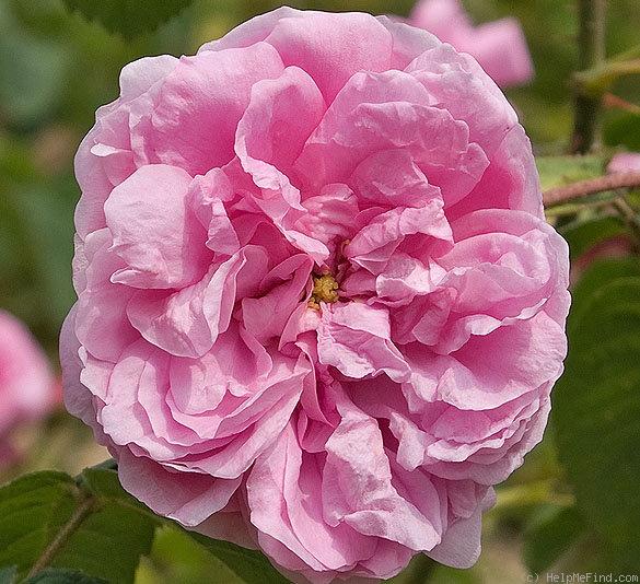 0020_provence_rose.jpg