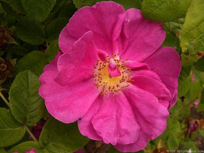 0024_officinalis.jpg
