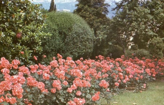 024_roses_yalta_1980.jpg