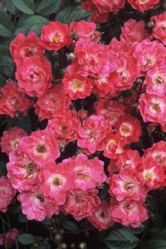5315-Rosa-Orleans-Rose.jpg