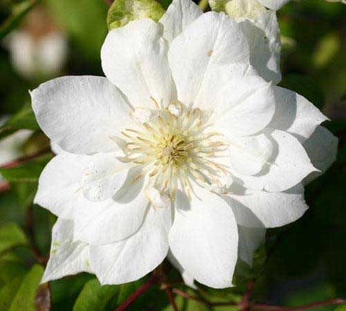 clematis-duchess-of-edinburgh.jpg