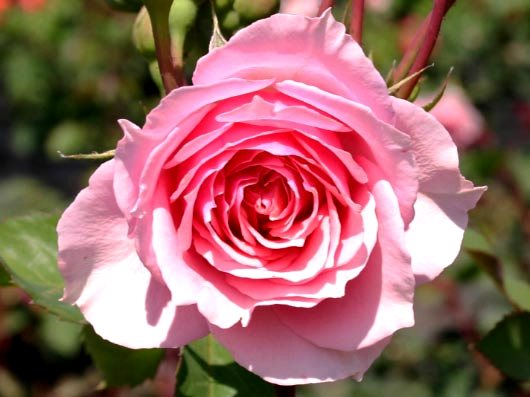 i2854_Guillot_Rose_La_Rose_Bordeaux_0.jpg
