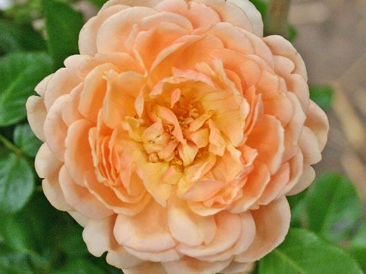 i2876_Guillot_Rose_Elizabeth_Stuart_0.jpg