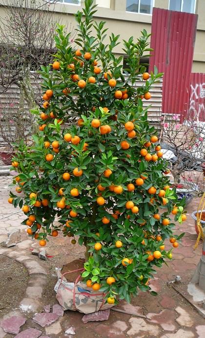 kumquat_001.jpg