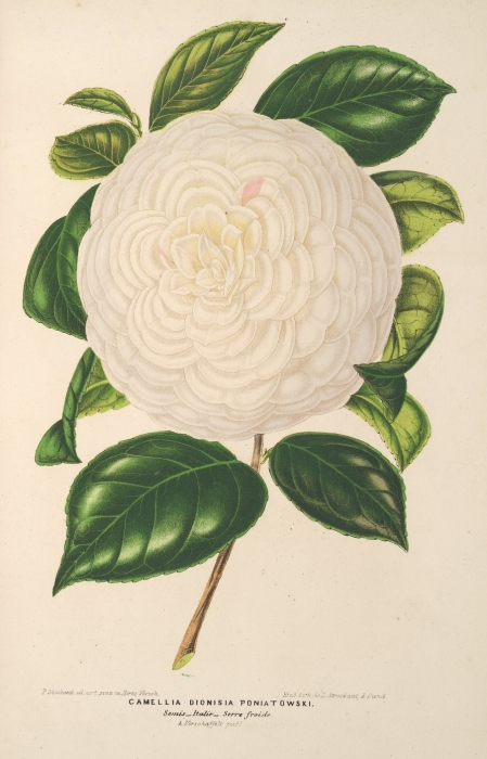 lillustration_horticole_1865_camellia_dionisias.jpg