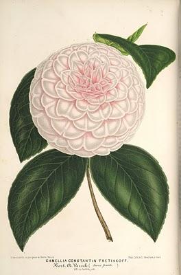lillustration_horticole_1867_camellia_constantin_tretiakoff_0.jpg
