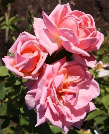 lyon_rose.jpg