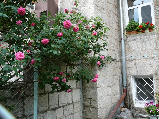 massandra_roses_001.jpg