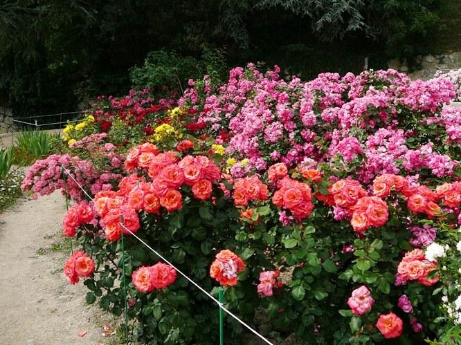 nikitsky_garden_roses_004.jpg