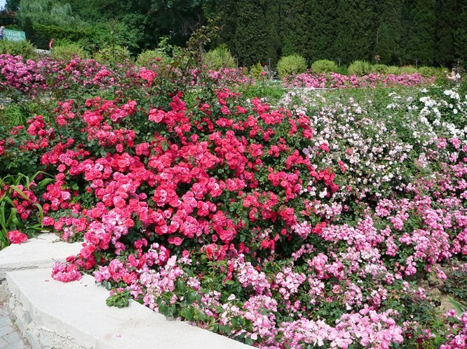nikitsky_garden_roses_005.jpg