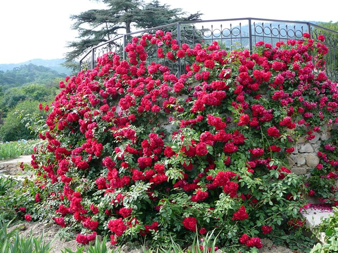 nikitskygarden_roses_006.jpg