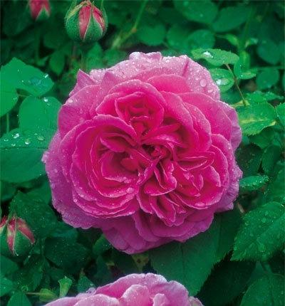 rose_Hommage_a_Soupert__Notting.jpg