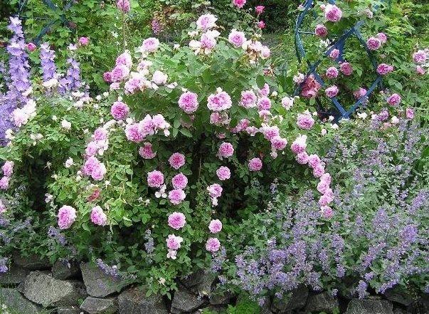 rose_Soupert__Notting_Jean_Pernet_1874.jpg