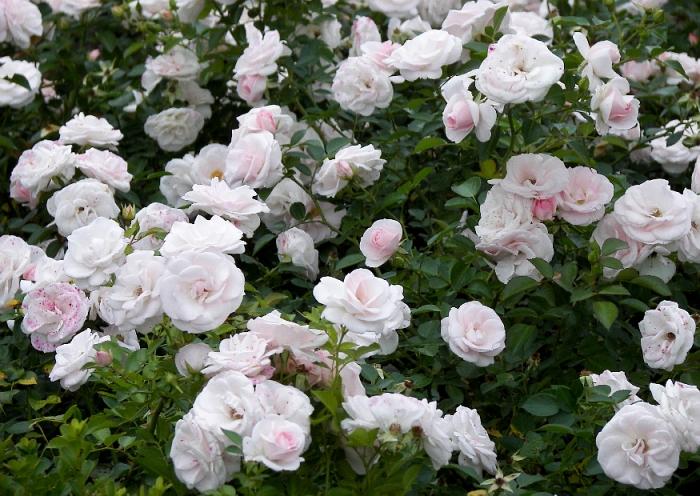 rose_aspirin.jpg