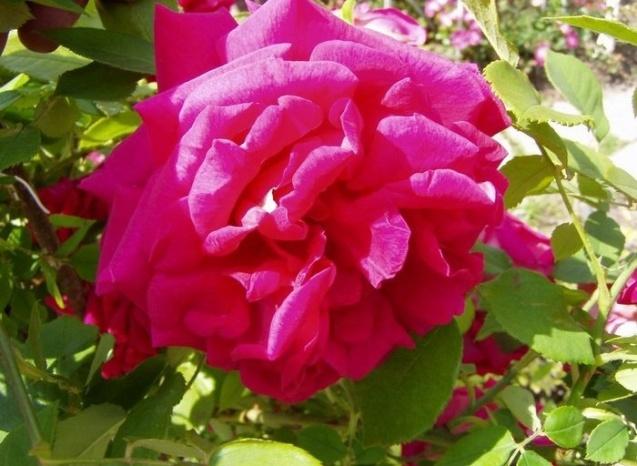 rose_comtesse_maria_henrietta_2006.jpg