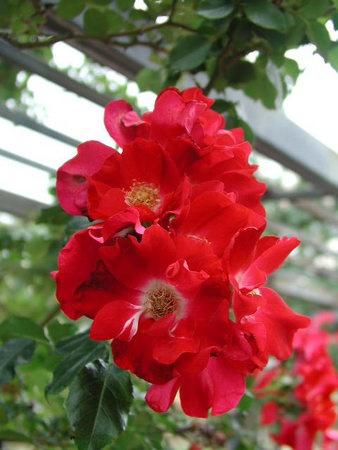 rose_dortmund_kordes_1955.jpg