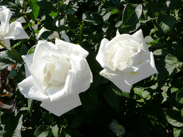 rose_livadia.jpg