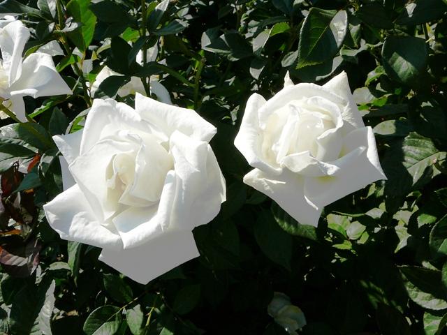 rose_livadia_0.jpg