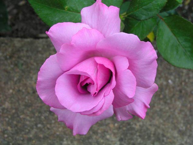 rose_ludmilla_1968.jpg