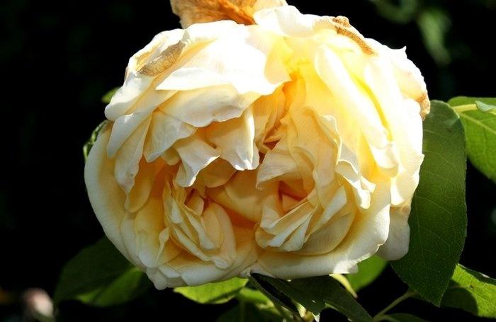 rose_marechal_niel_3.jpg