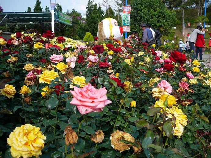 roses_of_dalat_001.jpg