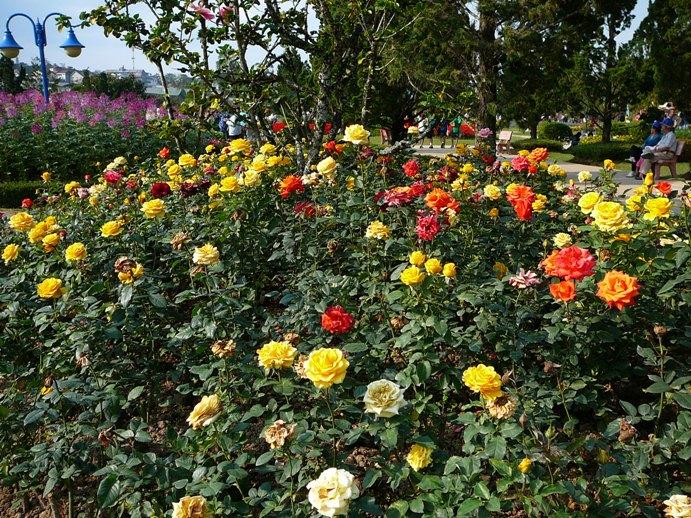roses_of_dalat_002.jpg
