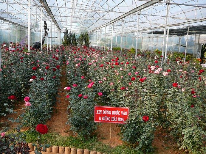 roses_of_dalat_003.jpg