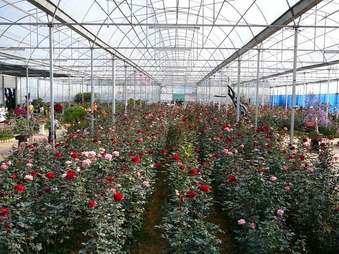 roses_of_dalat_004.jpg