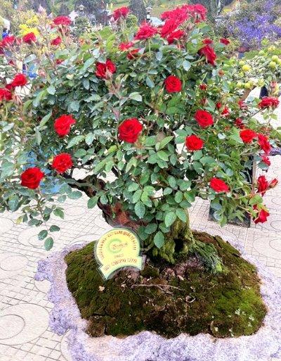 roses_of_dalat_005.jpg
