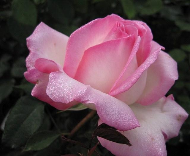 roza_Princessa_de_Monako.jpg