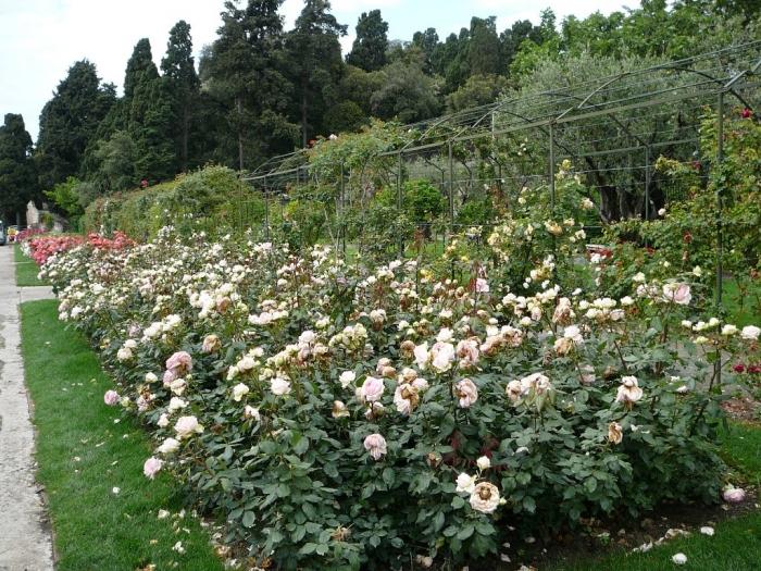 roses_cimiez_001.jpg