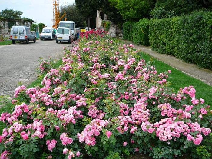 roses_cimiez_002.jpg