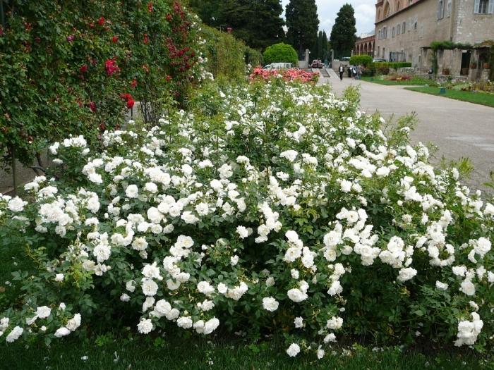 roses_cimiez_003.jpg