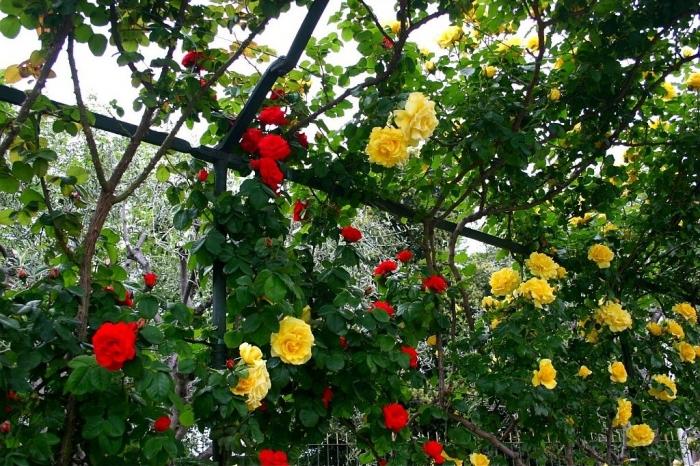 roses_cimiez_014.jpg
