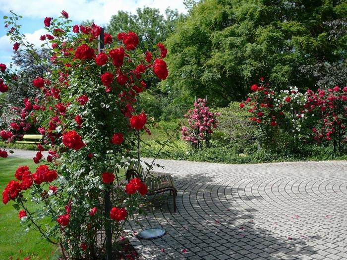 roses_de_erfurt_011.jpg