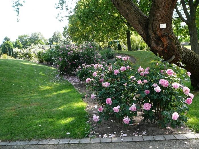 roses_de_erfurt_022.jpg