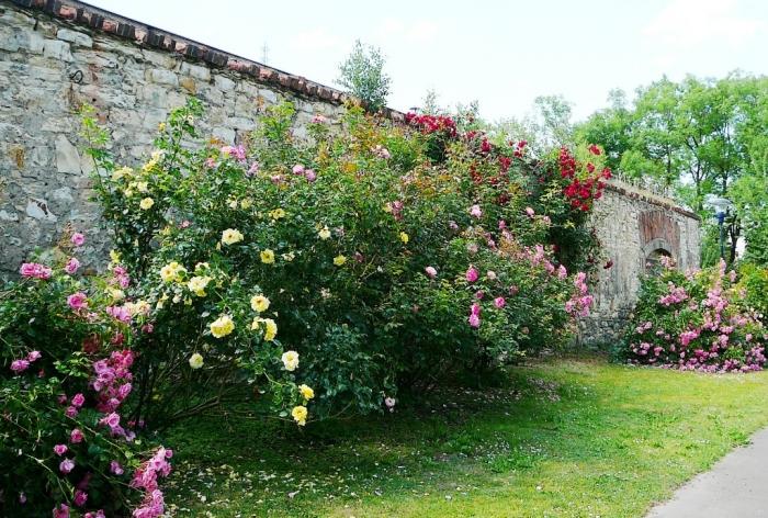 roses_praga_001.jpg