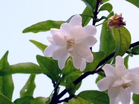 wrightia zeilanica.jpg